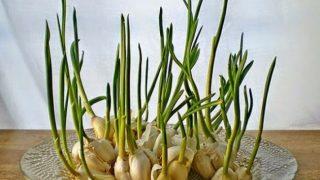 32805 r3l8t8d 650 garlicps 640x511.jpg
