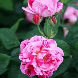Crocus rosa ferdinand pichard house 1jun16 pr_b_426x639.jpg