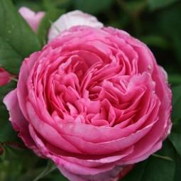 Crocus rosa gertrude jekyll house 1jun16 pr_b_639x426.jpg