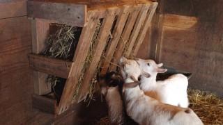Wood pallet goat hay feeder.jpg