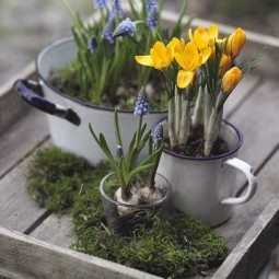 Muscari and crocus in enamel pots