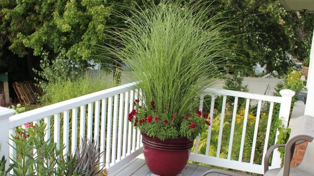Ornamental grass in pot_mini.jpg