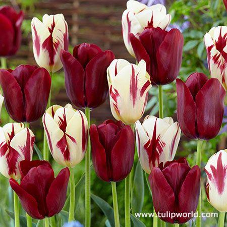 Tulipworld.com_.jpg