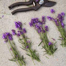 Harvesting lavender for wreath making.jpg
