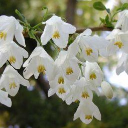 Halesia schneegloeckenbaum.jpg